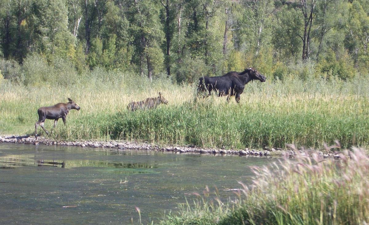 South Fork Moose and Twin Calves